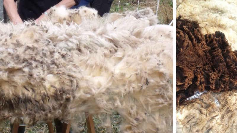Toison de Mouton pleine de chardons après la tonte